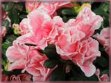 Two Tone Azalea by trixxie17, photography->flowers gallery