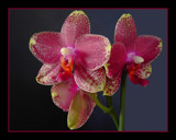 Red Orchids by Ramad, Photography->Flowers gallery
