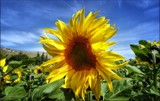 Summer Sunflowers #1 by LynEve, photography->flowers gallery