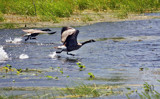Running Neck n Neck by Jimbobedsel, Photography->Birds gallery