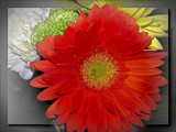 Another Gerbera by LynEve, photography->flowers gallery