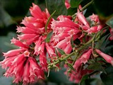 Pink Cestrum by trixxie17, photography->flowers gallery
