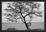 The Crooked Tree by PamParson, photography->shorelines gallery