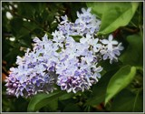 French Blue Lilac by trixxie17, photography->flowers gallery