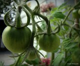 Tomatoes by GIGIBL, photography->general gallery