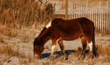 Assateague Pony by Jimbobedsel, photography->animals gallery