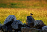 sparrow on the rocks by solita17, photography->birds gallery