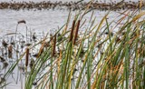 Cattails by Jimbobedsel, photography->nature gallery