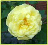 Yellow Rose for Susanner aka: SEFA by icedancer, photography->flowers gallery