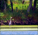 Heron at the Skokie Lagoons by trixxie17, photography->birds gallery