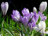Crocus by Paul_Gerritsen, Photography->Flowers gallery
