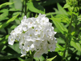 White Phlox by Pistos, photography->flowers gallery