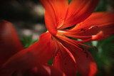 Summer Heat by nmsmith, Photography->Flowers gallery