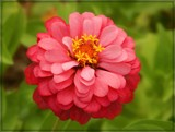 Zinnia by trixxie17, photography->flowers gallery