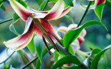 Oriental Lily by Pixleslie, Photography->Flowers gallery