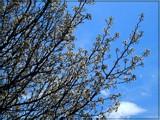 Bradford Pear by trixxie17, photography->flowers gallery