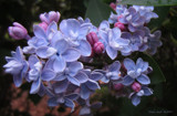 Lilacs II by nmsmith, photography->flowers gallery