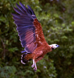 Black Collared Hawk by jeenie11, photography->birds gallery