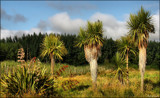 Cabbage Trees - Ti Kouka by LynEve, photography->nature gallery