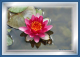 Water Lily Tribute To Verena by tigger3, photography->flowers gallery