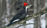 "Hello Miss Pileated Woodpecker"" by icedancer, photography->birds gallery"