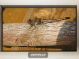 Dragonfly in the sun by wimida, photography->insects/spiders gallery