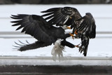Clash!! by garrettparkinson, photography->birds gallery