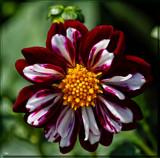 Dahia Beautiful by tigger3, photography->macro gallery