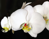 White Orchids 2 by jeenie11, photography->flowers gallery