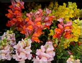 Rainbow Snaps by trixxie17, photography->flowers gallery