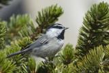 Mountain Chickadee by garrettparkinson, Photography->Birds gallery