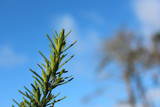 Reaching Rosemary by slushie, photography->gardens gallery