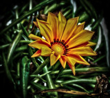 Golden Gazania by LynEve, photography->flowers gallery