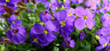 Aubretia Knows No Bounds by braces, photography->flowers gallery