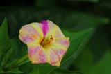 Vine flowers - 1 by elektronist, photography->flowers gallery