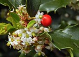 American Holly by trixxie17, photography->flowers gallery