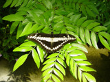 Butterfly on Fern by jordan37315, Photography->Butterflies gallery