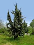 Spruce Tree by Tedi, photography->landscape gallery