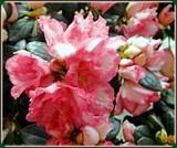 Mini-Azalea by trixxie17, photography->flowers gallery