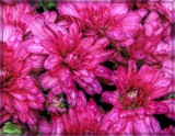 More Mums by trixxie17, photography->flowers gallery