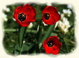 Tulip Trio by LynEve, photography->flowers gallery