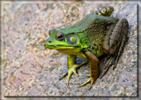 Calendar Ribbit by tigger3, photography->reptiles/amphibians gallery