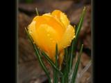 genus Crocus 2 by kodo34, Photography->Flowers gallery