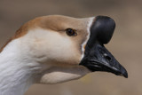 Goose by Paul_Gerritsen, Photography->Birds gallery