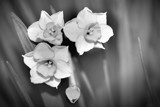 B/W Experiment by LynEve, photography->flowers gallery
