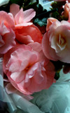Birthday Begonias by braces, photography->flowers gallery
