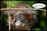 Poor Emu by Jimbobedsel, Photography->Birds gallery