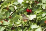 Juvenile Robin by doughlas, photography->birds gallery