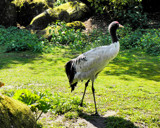 Red Crowned Crane by Ramad, Photography->Birds gallery