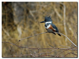 Belted Kingfisher by gerryp, Photography->Birds gallery